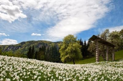Month of daffodils in Jesenice (May)